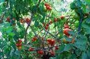 Mengapa Anda Perlu Menanam Pohon Tomat?