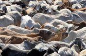 Ribuan Sapi Australia Tertahan di Karantina Indonesia