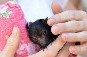 Warga Australia Ingin Pelihara Anak Kelelawar Telantar
