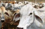 400 Sapi di Australia Dimusnahkan karena Tercemar Timbal