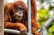 Puan, Orangutan Tertua di Dunia yang Gemar Marah-marah