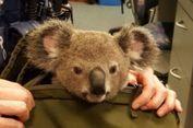 Polisi Australia Temukan Bayi Koala Dalam Tas Seorang Perempuan