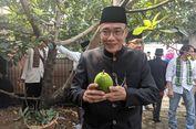 Mengenal Alpukat Cipedak, Buah Legit Asli dari Kampung Cipedak Jagakarsa...