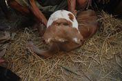 Bayi Sapi Berkepala Dua Gemparkan Masyarakat Grobogan