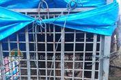 Jerat Kawat Sling Masih Melekat di Kaki Depan, Harimau Palas Akan Dioperasi