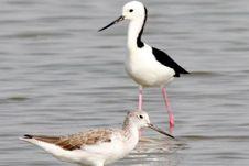 Riuh Burung Gagang Bayam di Danau Limboto