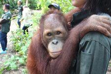 Berkawan dengan Orangutan di Samboja