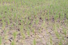 Kekeringan, Puluhan Hektar Sawah Terancam Gagal Panen