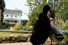 Pria Ini Didenda 500 Dollar AS Per Hari karena Pelihara Bebek