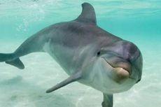 Virus Mirip Campak Serang Lumba-lumba Hidung Botol
