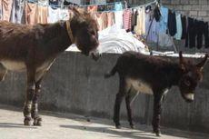 Polisi India Bekuk Geng Pencuri Keledai