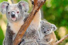 Musim Kawin Koala Tiba, Pengguna Jalan di Australia Diminta Hati-hati