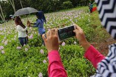 Pelesir ke Kebun Bunga Eceng Gondok? Ini Petunjuk Arahnya