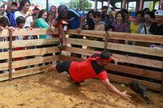 Begini Serunya Lomba Tangkap Babi di Pekan Gawai Dayak...