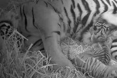Video Kelahiran Spesies Langka Harimau Sumatera di London Disebar di Youtube