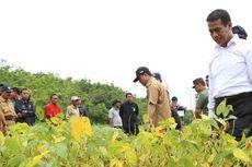 Petani Pilih Tanam Jagung dan Padi, Produksi Kedelai Nasional Turun