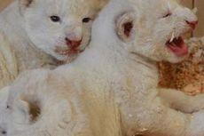 Spesies Langka, 7 Ekor Singa dan Harimau Putih Lahir di Polandia