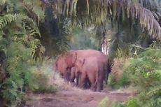Konflik Gajah di Riau Meningkat karena Berkurangnya Kawasan Jelajah dan Makanan