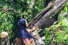 Tangisan Mama Imba dan Tumbangnya Afo II, Pohon Cengkeh Tertua di Dunia