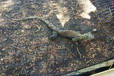 6 Komodo yang Dilepasliarkan di Pulau Ontoloe NTT Berjenis Betina
