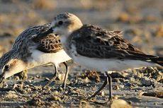 Fenomena Keindahan Burung Migran Saat Mengunjungi Danau Limboto