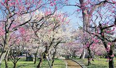 Indahnya Bunga Plum di Kuil Kitano Tenmangu, Kyoto