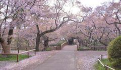 Ini Salah Satu Tempat Terbaik Melihat Bunga Sakura di Jepang