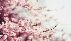 Jadwal Terbaru Waktu Mekar Sakura di Jepang 2018