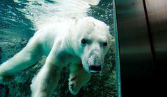 Tak Hanya Salju, Ada Beruang Kutub di Kebun Binatang Hokkaido Jepang