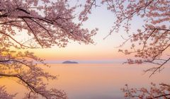 Catat, Ini Pemandangan Sakura Rekomendasi Fotografer Jepang