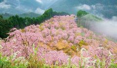 Bisakah Menikmati Sakura Sambil Naik Gunung?