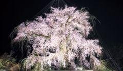 Nikmati Kecantikan Sakura yang Berbeda pada Malam Hari