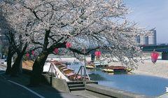 Menikmati Sakura dan Kue Khas Jepang di Prefektur Gifu