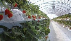 "3 Kebun ""Strawberry Picking"" Terbaik di Kumamoto Jepang"
