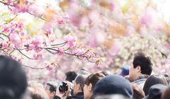 Menikmati Bunga Sakura Seperti Orang Jepang, Ini Panduannya