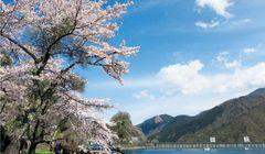 Catat, Tempat Terbaik untuk Melihat Sakura di Jepang Ada di Sekitar Tokyo