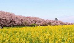 Tujuh Pemandangan Terbaik Sakura Rekomendasi Ahlinya!