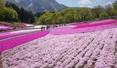 Berburu Bunga-bunga yang Mekar pada Musim Semi di Jepang