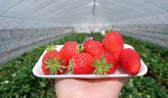 Memetik Stroberi di Penghasil Stroberi Terkenal di Jepang, Mau Coba?