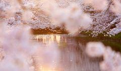Tak Sekadar Melihat Sakura, Ini Makna Musim Semi bagi Orang Jepang