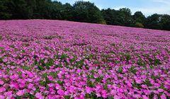 Cantiknya, Lautan Bunga Petunia Warnai Taman di Jepang