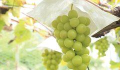 Liburan Musim Gugur di Jepang, Coba Aktivitas Petik Anggur di Lima Tempat Ini