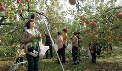 Musim Gugur Tiba, Kunjungi Kebun Buah Apel Di Jepang Ini