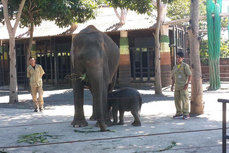 Indukan gajah sumater bersama anak yang baru dilahirkannya di Batu Secret Zoo, Kota Batu, Jawa Timur, Sabtu (13/7/2019)