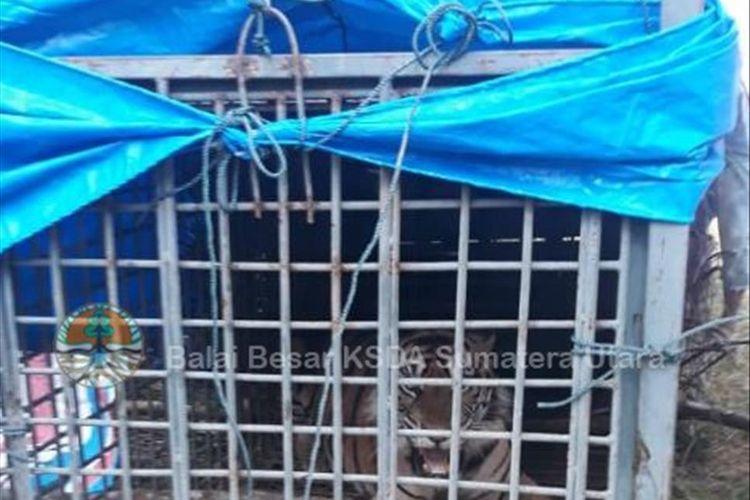 Harimau Palas, saat masih di dalam perangkap di Desa Hutabargot, Padang Lawas. Kaki depan sebelah kanan harimau sumatera bernama Palas yang berhasil ditangkap Selasa kemarin (16/7/2019) akan dioperasi di tempat barunya di Pusat Rehabilitasi Harimau Sumatera Dharmasraya (PRHSD) di Sumatera Barat. Harimau jantan berusia lima tahun ini sebelumnya meresahkan warga karena kemunculannya di sekitar permukinam masyarakat dan diduga sempat menerkam serta menwaskan warga.