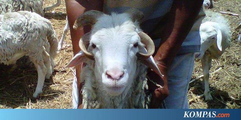 Domba Tanduk Empat Kudus Diyakini Bertuah