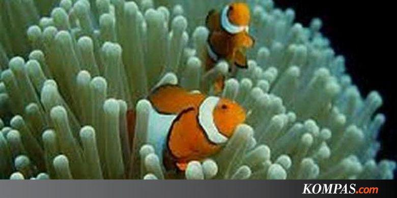 Finding Nemo D Animasi Hd Wallpaper: Ikan 'Nemo' Berhasil Ditangkarkan Lho...