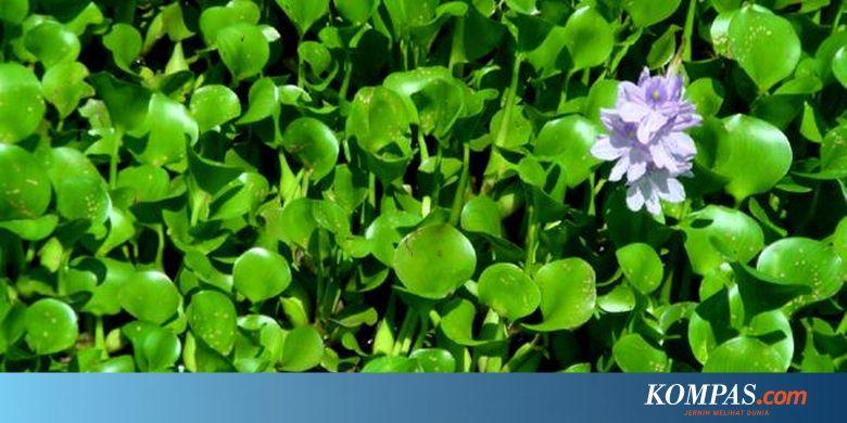 1751195620X310 - Jenis Bunga Yang Hidup Di Air