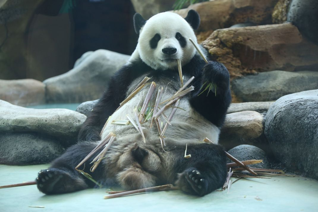 Sepasang Giant Panda di Taman Safari Indonesia