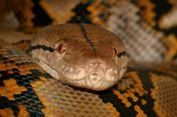 Mengenal Ular Sanca Batik, Predator yang Makan Manusia di Sulawesi